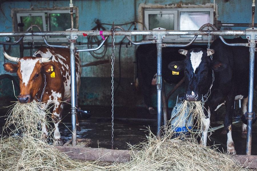 у робота есть механическая рука, и он начинает работать, когда корова сама приходит